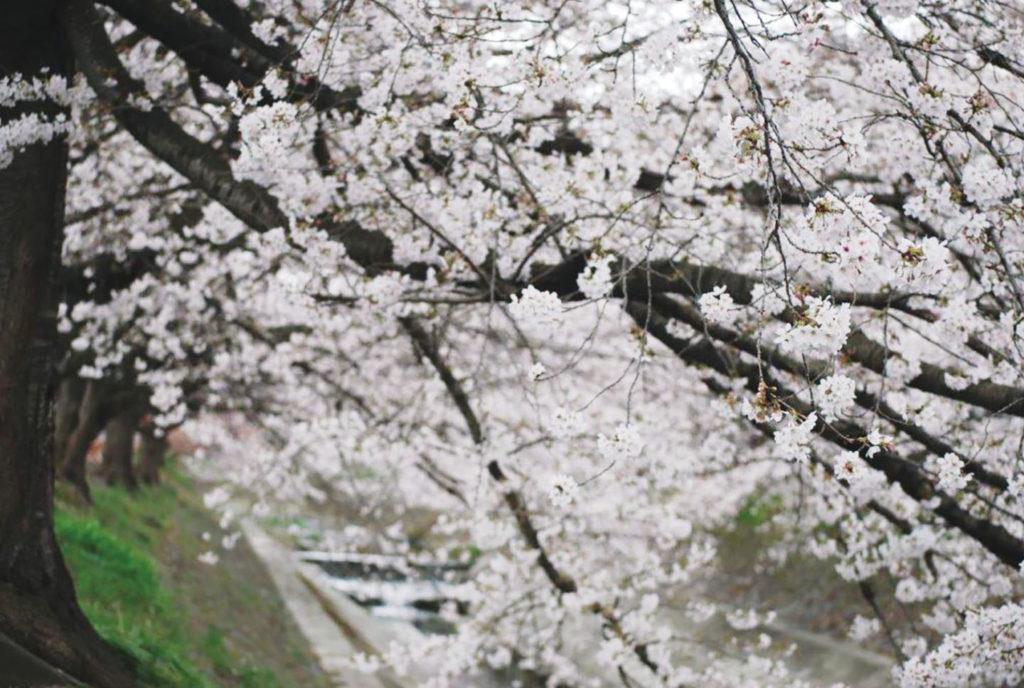 丹羽さんが撮影した桜